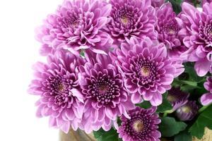 violette chrysant op witte achtergrond foto