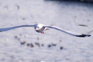 zeemeeuw die over oceaan vliegt foto