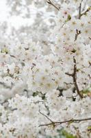 sakura, lente kersenbloesem foto