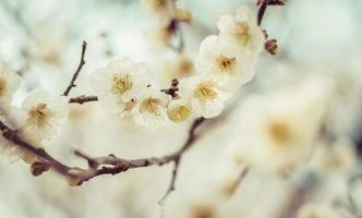 prachtige bloeiende Japanse kers - sakura. achtergrond met fl foto
