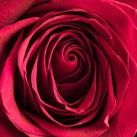 mooie roze roos close-up