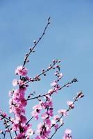 roze kersen Japanse bloesem foto
