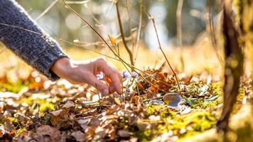 vrouwelijke hand op het punt om een vroege paarse lentebloem te plukken