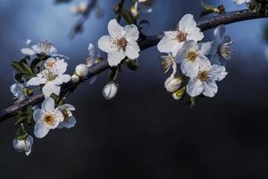 bloeien in april foto