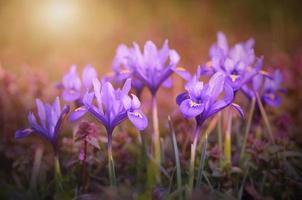 irisbloem bloeit in het vroege voorjaar foto