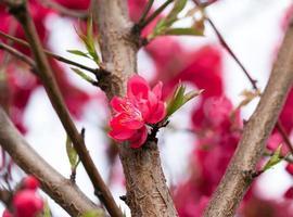 abrikozenboom bloesem foto