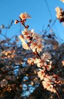lente kersenbloesem foto