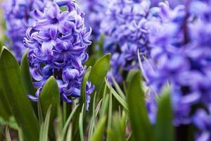 blauwe bloemen van hyacint foto