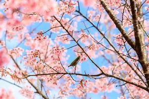 vogel op kersenbloesem en sakura foto