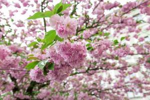 Sakura bloesem