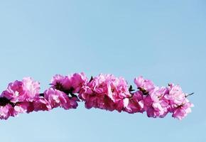 bloeiende Japanse kers op blauwe hemelachtergrond foto