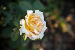 bloem thee roos foto