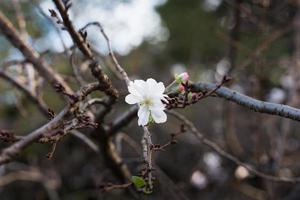 de laatste kersenbloesems van het seizoen foto