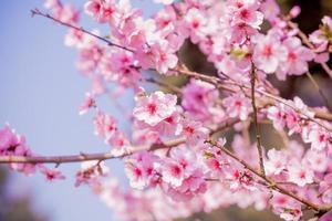 kersenbloesem, sakura bloem foto