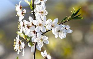 bloeiende appelboom foto