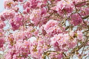 roze trompetbloem foto