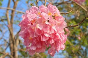 roze trompetbloemen of tabebuia pallida foto