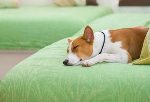 portret van slapende basenji foto
