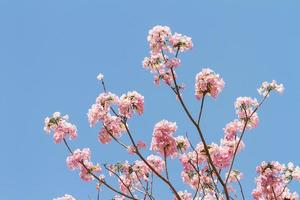 roze trompetboom foto