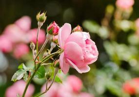 mooie roze roos in een tuin foto