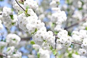 close-up tak van bloei in het voorjaar foto