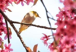 Witoogvogel op takje roze kersenbloesem (sakura) foto