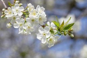 bloeiende kersenboom foto
