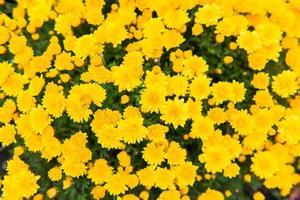 gele chrysant onder het zonlicht foto