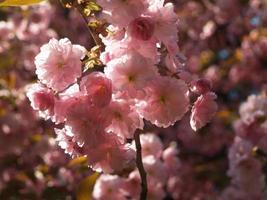 tak van bloeiende sakura foto