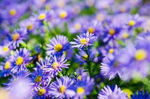 violette bloemen foto