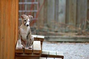 whippet - mannelijke puppy foto