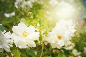 struik van witte rozen foto