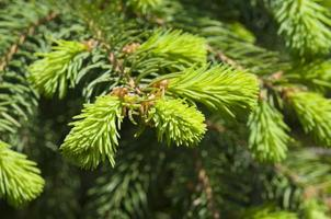 dennenboom schiet in de lente