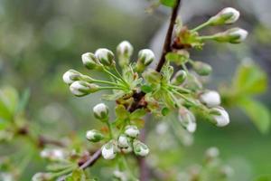bloeiende witte kersenbloemen foto