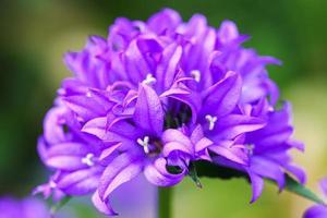 enkele alliumbloem met heldere violette kop op een tuin foto