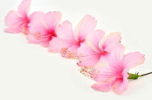 bloesem van roze hibiscusbloem op witte achtergrond foto