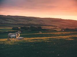 schapen en de zonsopgang foto