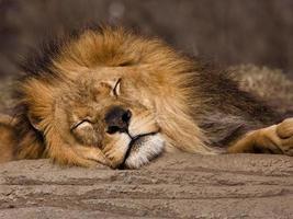 slapende leeuw foto
