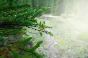 close-up van een pijnboom foto