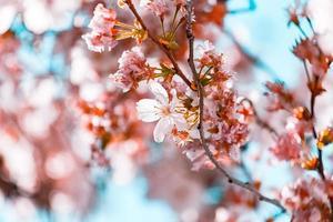 witte kersenbloesems