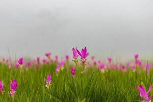 roze siam tulpen bloeien in een veld foto