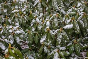 met sneeuw bedekte bladeren na een winterstorm foto