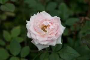 roze roos in een tuin