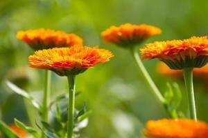 bloemen van calendula foto