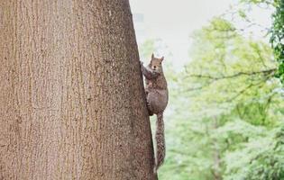 bruine eekhoorn op een boom
