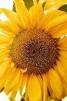 een close up van een zonnebloem