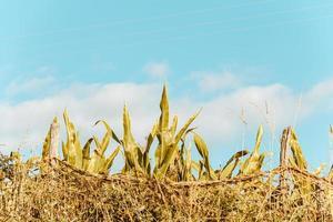 maïsveld onder de helderblauwe hemel foto