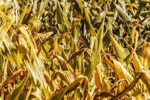 een maïsveld foto