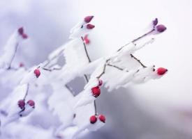 bevroren bruyère bedekt met ijs foto