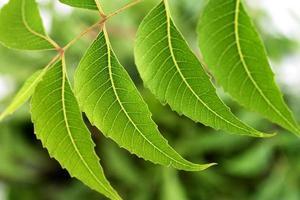 neem blad-azadirachta indica foto